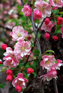 "Cincinnati – Spring Grove Cemetery & Arboretum ""Crabapple Tree Blooms"""