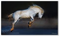 Jumping for Joy .... (KevinBJensen) Tags: animals white horse nature frisky horses action fuji xh1 100400mm paul keates risu