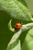 Ladybug (ErrorByPixel) Tags: ladybug nature leaf bug green macro errorbypixel dot dots small leafs tree pentax k5