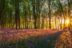 Bluebell Wood Sunrise (AppleTV.1488) Tags: anyvision bluebells england europe gb gbr greatbritain labels plants uk wildflowersofgreatbritain dawn deciduous ecosystem flora forest grove leaf morning nature spring sunlight sunrise tree vegetation wildflower woodland froxfield wiltshire unitedkingdom cakewood appletv1488 2018 may 06052018 6may2018 06 nikond7100 18250mmf3563 27mmfocallength35mm am noflash landscapeapectratio f22 30secatf22