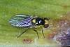 Cabbage leafminer  _DSC4081 (Mike G Gordon) Tags: diptera agromyzidae liriomyza brassicae sydney