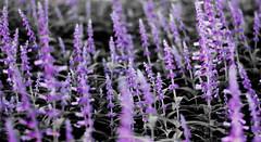 Selective lavender (StefanKleynhans) Tags: selective color colour lavender purple pink plant botanical garden sydney australia mynikonlife nikon d7100 50mm bokeh