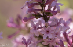Happy Easter! (Irina1010) Tags: lilac pink bloom flowers cluster macro bokeh spring 2018 lucky nature easter canon ngc npc