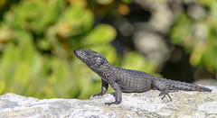 Black Girdle-Tailed Lizard (the tinz) Tags: cape good hope south africa southafrica lizard animal reptile