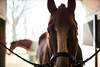 crosstied (Jen MacNeill) Tags: horses horse equine mood stable animal farm quarterhorse qh