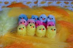 Wir sind der Frühling (Sockenhummel) Tags: osterdekoration fuji x30 frühling küken osterküken bunt ostern easter chicken spring