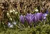 An der Kirche in Schwabstedt - Krokus, Märzbecher und Sternhyazinte; Nordfriesland (11) (Chironius) Tags: schleswigholstein nordfriesland deutschland germany allemagne alemania germania германия niemcy blüte blossom flower fleur flor fiore blüten цветок цветение asparagales schwertliliengewächse iridaceae krokusse crocus blau asparagaceae spargelgewächse scilloideae amaryllidaceae amaryllisgewächse schwabstedt
