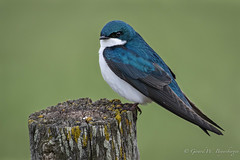 Tree Swallow (Turk Images) Tags: aspenparkland beaverhilllakearea tachycinetabicolor treeswallow agriculture alberta birds hirundinidae swallows trsw prairie spring