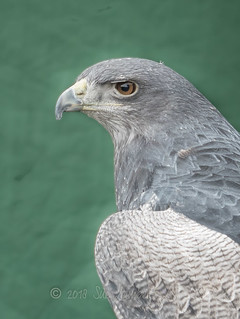 Chilean Blue Buzzard Eagle