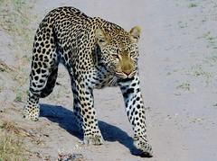 Female Leopard (Panthera pardus) (Susan Roehl) Tags: kenya2015 masaimaranationalreserve kenya eastafrica leopard female walking animal mammal predator carnivore pantherapardus widerangeofhabitats iucnvulnerable habitatloss shortlegs longbody smallerthanjaguar run36milesperhour canbeblackincolor pleistocene sueroehl photographictours naturalexposures pentaxk3 sigma150500mmlens handheld takenfromjeep cropped photographedlookingupadirtroad ngc coth5