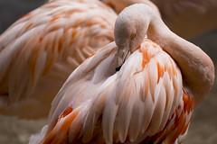 At rest (Dtek1701) Tags: fujix mirrorless xt1 xtranssensor xmount xshooter outside naturallighting santabarbara california westcoast fujixf50140f28 zoo pink animal bird flamingo telephoto handheld nature