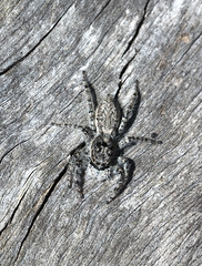 Menemerus sp. (SaZiRi) Tags: spider arachnid arachnida animal arthropod araneae canon ef 100mm f28 l is usm macro