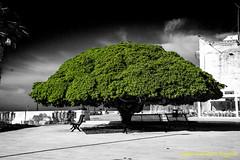 Pittosporum (Santo Salvatore Foggetti) Tags: puglia green italia salento otranto pitosporo pitosforo pittosporum albero piazza verde desaturazioneparziale desaturazione sony sonyilce7 sonya7 foggetti
