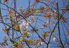 Frühling (wpt1967) Tags: blüten canon100300mm castroprauxel eos6d erinpark erinnerung frühling kirsche ruhrgebiet ruhrpott sonnenschein blauerhimmel sping spring sun sunshine trees wpt1967