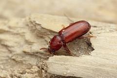 Corticeus fraxini (Radim Gabriš) Tags: coleoptera tenebrionoidea tenebrionidae corticeus darklingbeetle beetle insect macro
