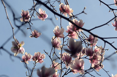 magnolia (Wolfgang Binder) Tags: tree blossom blossoms magnolia spring branches sky