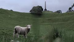 Where Poets Speak Their Heart (MrTheEdge7) Tags: onetreehill newzealand aotearoa auckland aucklandnz nz kiwi sheep grazing maori northisland