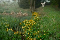 Morgendlicher Kontrollgang (balu51) Tags: morgen morgenspaziergang frühling bach morgennebel sumpfdotterblumen hund kuvasz ungarischerhirtenhund grün gelb april 2018 copyrightbybalu51