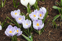 Purple Crocus (RonG58) Tags: purplecrocus augusta crocus domesticflowers flowerbed flowers hana flower floweringplant botanical plants plant macro maine rong58 usa images spring pictures photooftheday day image color photography photo photos us light trip nikon picture digitalcamera picoftheday nikoncoolpixp900 coolpix photograph new live geotagged nature travel exploration