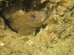 Tompot (roger_forster) Tags: tompot blenny parablenniusgattorugine hollandv diving scuba underwater sussex wild fish animal