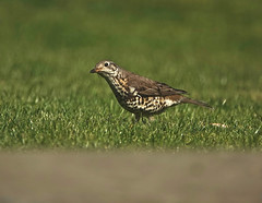 Busy Mistle (Deepgreen2009) Tags: mistlethrush hunting searching worms garden lawn wildlife alert home speckled