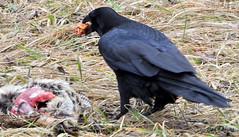 DSC_0456 (RachidH) Tags: birds crow corbeau corneille corvidae corvus americancrow corvusbrachyrhynchos corneilledamérique newton nj rachidh nature black pheasant faisan hopatcong newjersey