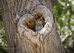 Western Screech Owl (slsjourneys) Tags: westernscreechowl owl