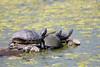 i like turtles (timp37) Tags: like turtles aprll 2018 lake katherine illinois turtle palos