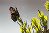 Paon du jour (Inachis io) (aurelien.ebel) Tags: alsace animal basrhin france inachisio insecte lawantzenau nymphalidae nymphalinae nymphalisiolinnaeus 1758 paondujour papillondejour rhopalocères