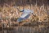 Great Blue Heron (Bryan O'Toole) Tags: greatblueheron bif birdinflight heron bird saultstemarie ontario northernontario canada whitefishisland algoma nikon nikond810 nikonafs200400mmf4vr wildlife marsh