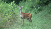 DeerHeadlights (nancyleslie1) Tags: deer kentucky wild shocked aware wildlife forest lovely woods alvaton trail