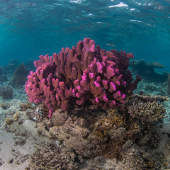 purple coral and white stripes (b.campbell65) Tags: animal animals aquarium aquatic background backgroundanimal beautiful beauty biodiversity biology blue color colorful conservation coral corals damselfish dive diving environment fiji fish healthy island life marine natural nature ocean pacific reef saltwater scenery scenic scuba sea seascape soft softcoral south sponge swim tourism travel tropical tropicalisland underwater vacation water wild wildlife