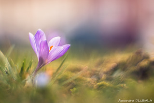 Dreamy Crocus