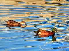 Duck waters II (elphweb) Tags: fhdr falsehdr pseudohdr nsw australia birds seabirds avians duck ducks chestnuttealducks chestnutteal water bay river sea ocean