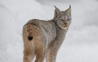 Portrait Lynx du Canada  -  Lynx Canadensis