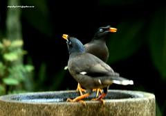 IMG_1639 Jungle Myna (Acridotheres fuscus) (vlupadya) Tags: greatnature animal aves fauna indianbirds jungle myna acrodotheres kundapura karnataka