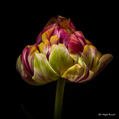 Multicolored tulip (Magda Banach) Tags: canon canon80d sigma150mmf28apomacrodghsm blackbackground colors flora flower flowers green macro nature plants red tulip yellow