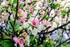 Flowering quince in Kan'ei-ji Temple (Dakiny) Tags: 2018 spring march japan tokyo bunkyoward ueno uenosakuragi city street temple kaneiji plant tree flower floweringquince chaenomeles macro bokeh nikon d750 nikonclubit