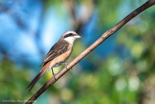Brown Shrike ©