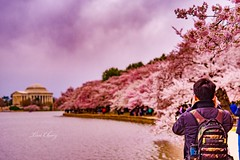 Cherry blossom 2018 (still_shotz) Tags: thomasjeffersonmemorial washingtondc cherryblossom