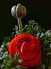 Ranunculus (Alzheimer1) Tags: wien österreich at macroflowerlovers