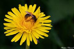 Vallée de la Riallée-25 (Philippe Chaumel) Tags: insectes abeille