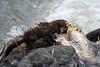 Vison/Mink -11899 (michel paquin2011) Tags: rouge vison mammifère parc rapides lasalle