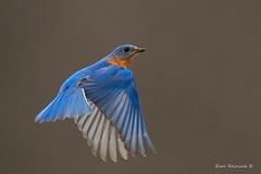 Eastern Bluebird (Earl Reinink) Tags: bird animal nature photography camera earl reinink earlreinink wings flight blue bluebird easternbluebird aiuatahdza