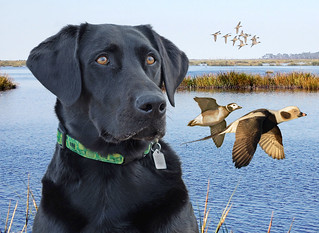 BLACK LAB WITH A PAIR OF OLD SQUAW DUCKS
