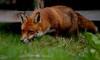 Red (davy ren2) Tags: fox d500 nikon red photograthy wildlife nature