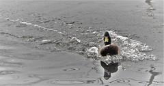 Landed (wilma HW61) Tags: eend duck canard anatra ente tier animal animale beast dier vogel bird uccello oiseau watervogel waterbird oiseaudeau uccelloacquatico wasservogel water wasser natuur nature natur naturaleza nederland niederlande netherlands nikond90 outdoor holland holanda paysbas paesibassi paísesbajos europa europe wilmahw61 wilmawesterhoud spiegeling reflectie reflexion waterfowl