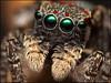 Maratus elephans (GTV6FLETCH) Tags: spider jumpingspider salticidae macro macrophotography nsw australia au