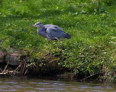 Grey Heron poised (PDKImages) Tags: yorkshiresculpturepark birds wildlife bird heron nesting flight grey greyheron wings nature outside