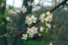 20180408-005 (Blotevoet) Tags: forest bos park green brown nature plants spring lente flowers bloemen cherry sakura kers tree trees boom bomen